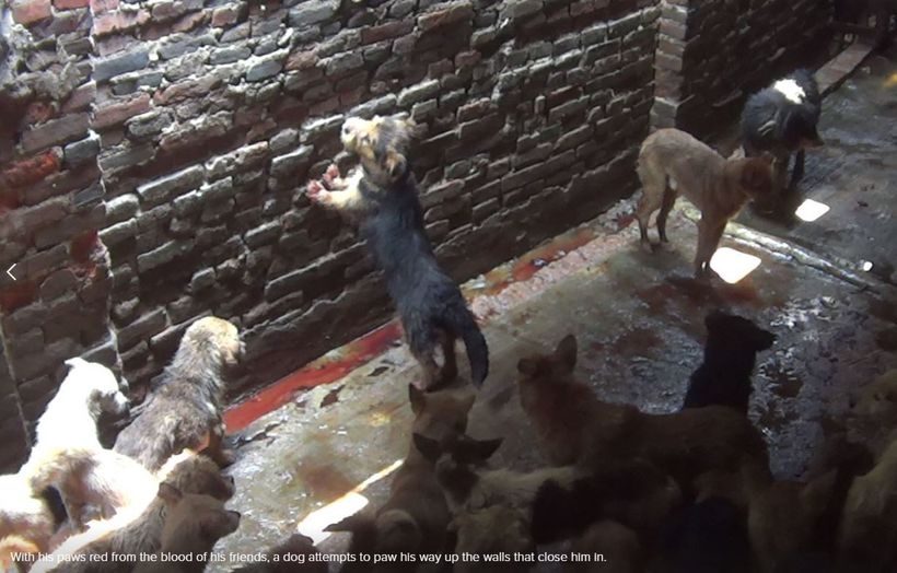Dogs inside Chinese slaughterhouse.