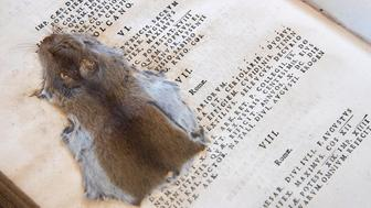 SALISBURY, ENGLAND - SEPTEMBER 14:  A mouse that was squashed by 19th century pupils at the Cathedral School in a Latin textbook that was published in 1684 is seen preserved in the library at Salisbury Cathedral on September 14, 2016 in Salisbury, England. Starting this month, the cathedral is offering the general public access to the library for the first time with organised guided tours. Although the room housing the library at Salisbury Cathedral was built in 1445 the origins of the library stretch back much further and still contains a large collection of books that were created by the scribes of the old cathedral in the late 11th century which constitutes the largest collection of manuscripts of the Norman period still with its original owner. Today the Library holds approximately 8,000 volumes dating from the ninth century to the present day, with the majority of books being theological and literary texts with further examples of a wide range of other subjects including science, mathematics and medicine.  (Photo by Matt Cardy/Getty Images)