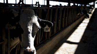 A cow stands in a barn at the Lake Breeze Dairy farm in Malone, Wisconsin, U.S., on Tuesday, May 31, 2016. Donald Trump's proposal to deport undocumented immigrants and wall off the southern U.S. border has created an unexpected bastion of resistance: dairy farmers. Unlike farms that operate with a seasonal rhythm, milk operations function around the clock, 365 days a year, making short-term guest-worker programs ill suited. Farmers say they can't get enough relatives or local workers, even with pay starting at $11 an hour or more -- well above the minimum wage of $7.25 -- with benefits that include a 401(k). Photographer: Daniel Acker/Bloomberg via Getty Images