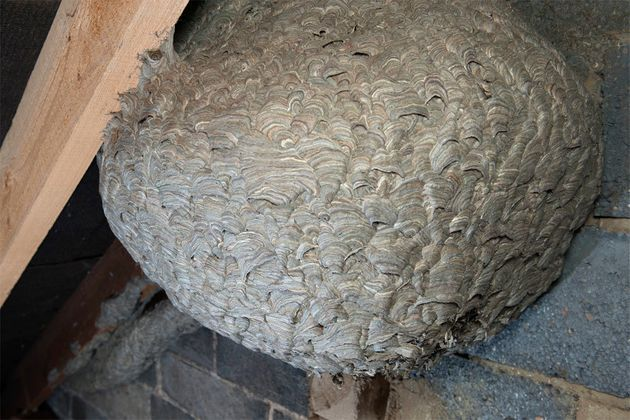 This giant nest was built by up to 10,000 stinging