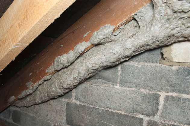The industrious wasps built an intricate 'tunnel' from the nest to the