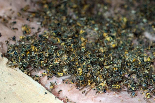 Carcasses of hundreds of dead wasps found next to the nest indicate that the colony was created by the...