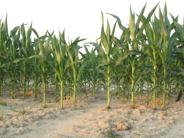 A Cornfield in Flyover Country
