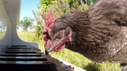 This Piano-Playing Chicken Will Knock You Over With A