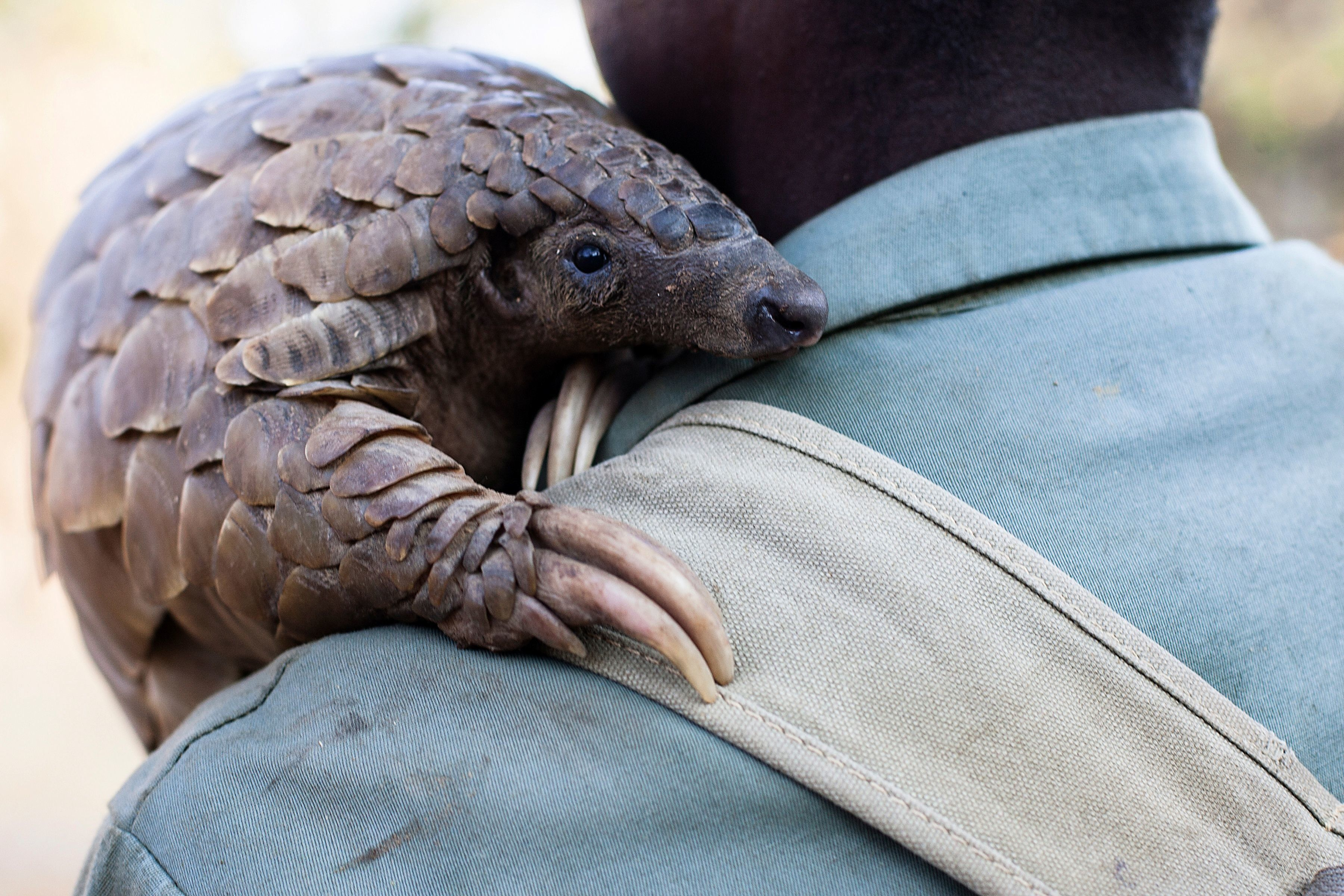 TO GO WITH AFP STORY BY SUSAN NJANJI Zimbabwe game reserve guide Matius Mhambe holds 'Marimba', a female pangolin weighing 10kgs that has been nine years in care at Wild Is Life animal sanctuary just outside the country's capital Harare, on September 22, 2016. They are ordinarily reclusive and often don't make the headlines, but pangolins are the world's most heavily trafficked mammal and conservationists want their protection scaled up. Demand for pangolin meat and body parts is fuelling a bloodbath and driving the secretive scaly ant-eating mammals to near extinction. / AFP / Jekesai Njikizana        (Photo credit should read JEKESAI NJIKIZANA/AFP/Getty Images)