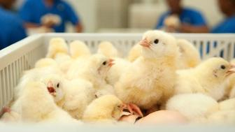Chicks hatch at a chicken farm in Moca June 24, 2013. A ban by its neighbour Haiti on the importation of Dominican chickens and eggs since June 7 last year has caused a crisis in the industry, according to Dominican government sources, as they try to negotiate a lifting of the measure that Haitian authorities admit was imposed due to the loss of import tax revenue. Picture taken June 24, 2013. REUTERS/Ricardo Rojas (DOMINICAN REPUBLIC - Tags: POLITICS BUSINESS ANIMALS)