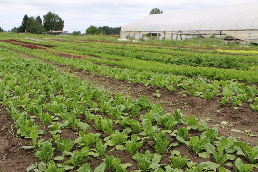Row upon row of leafy greens thriving at Wild Hare Farm in Puyallup, Washington