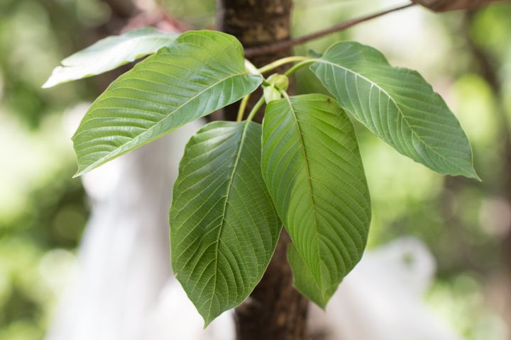 Leaves of <em>Mitragyna speciosa</em>, which are typically dried and crushed into a powder to make kratom.