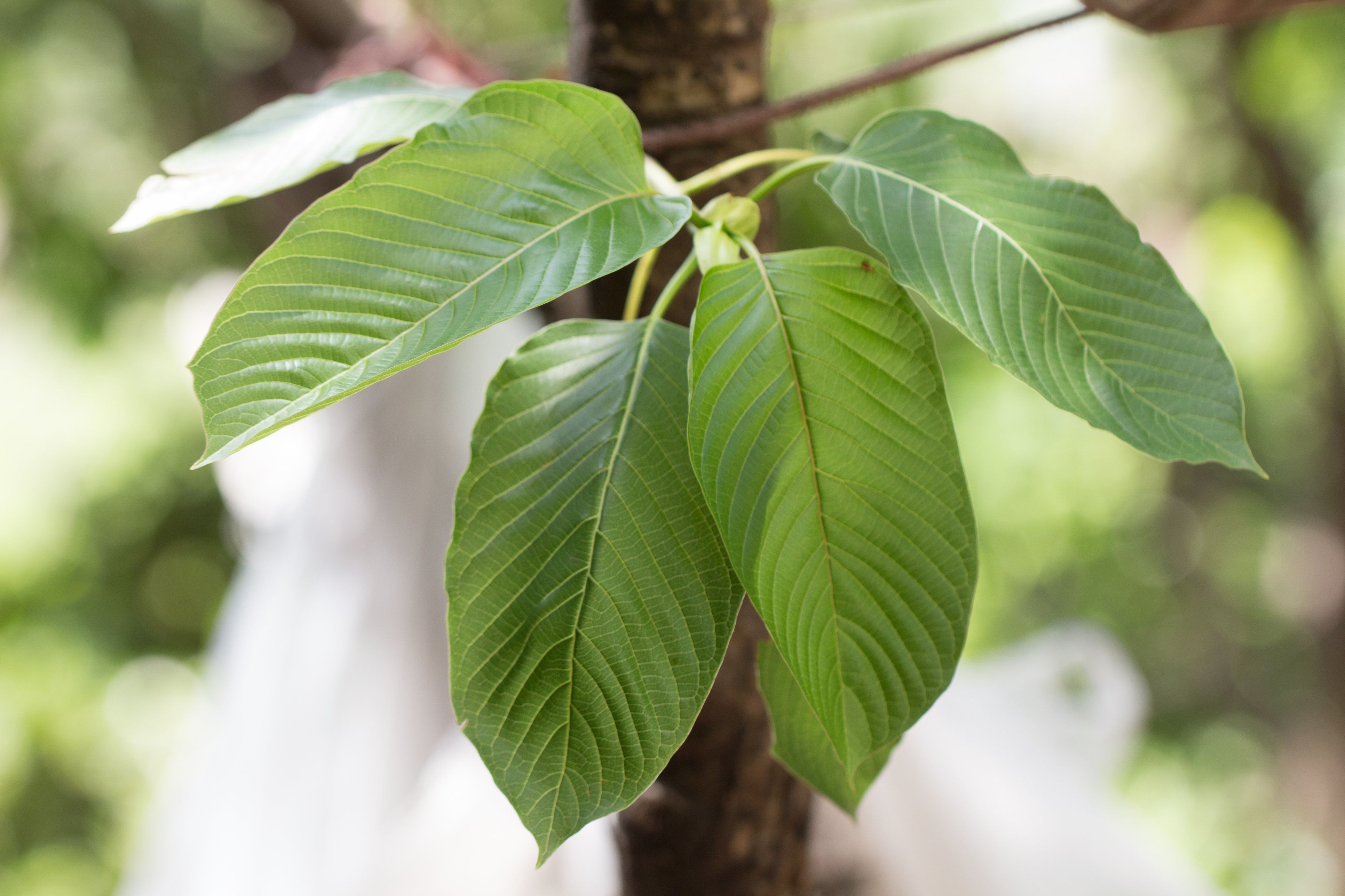 Leaves of <i>Mitragyna speciosa</i>, which are typically dried and crushed into a powder to make kratom.