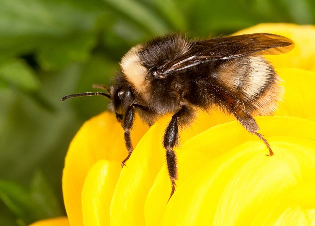 Bees Have Emotions And Sugar Makes Them Happy, Study