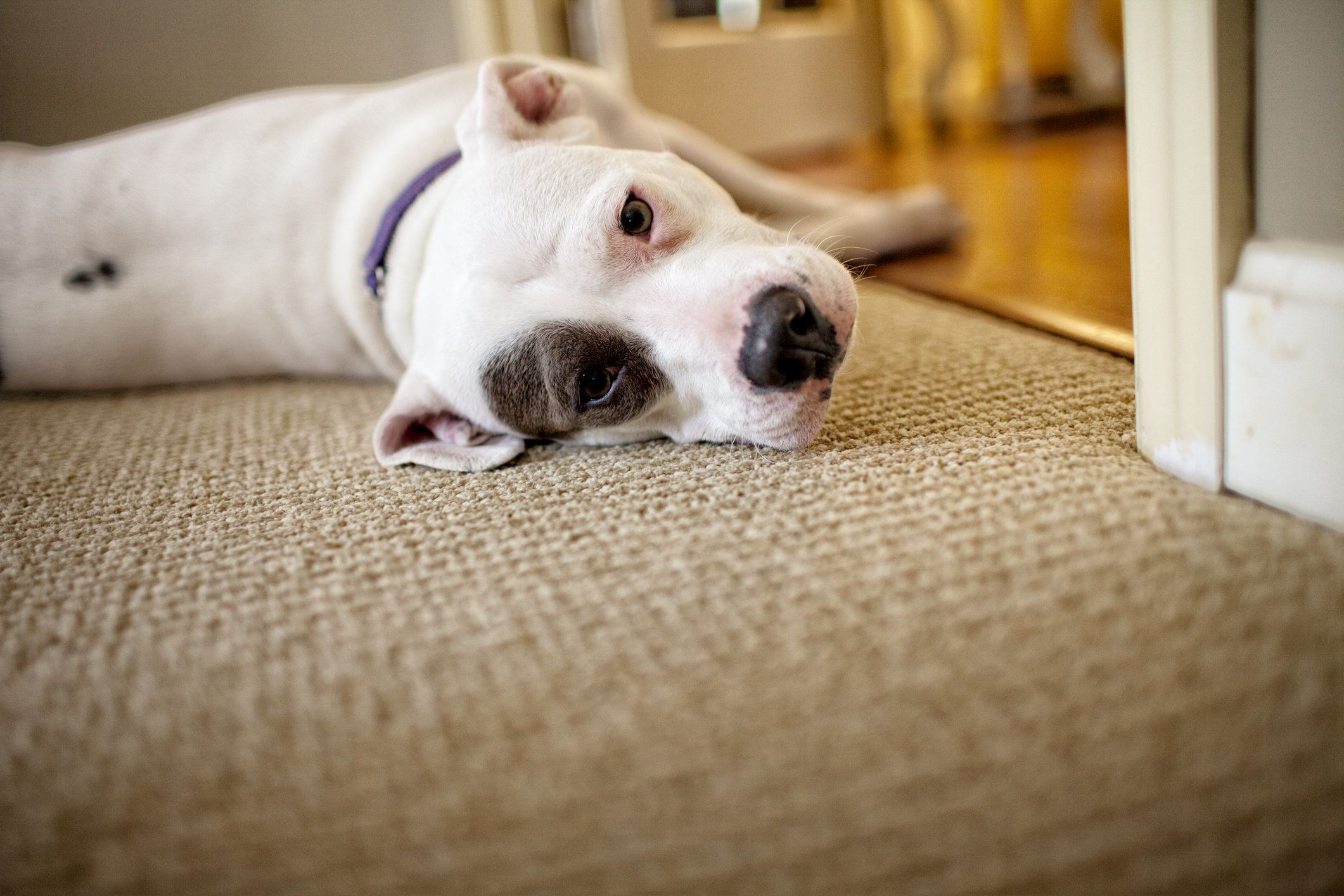 Low angle shot of a relaxed white pit bull dog on carpet