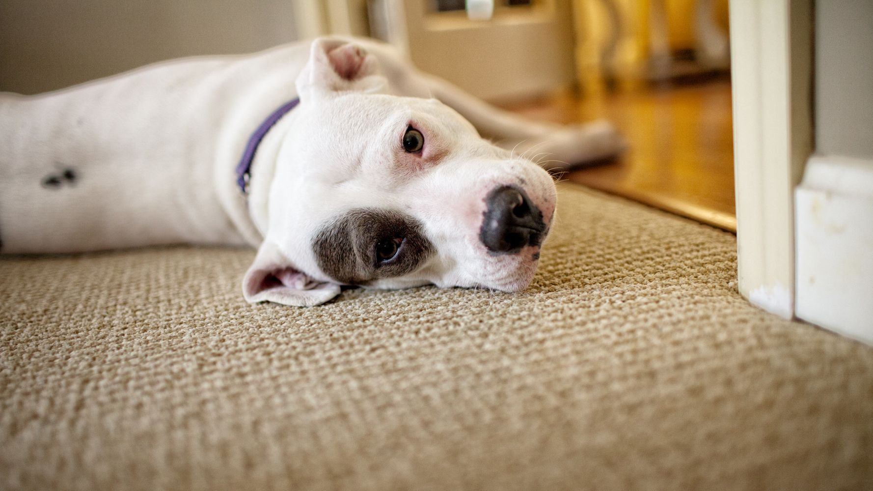 Tons Of Pit Bulls May Be Euthanized In Montreal Next Week