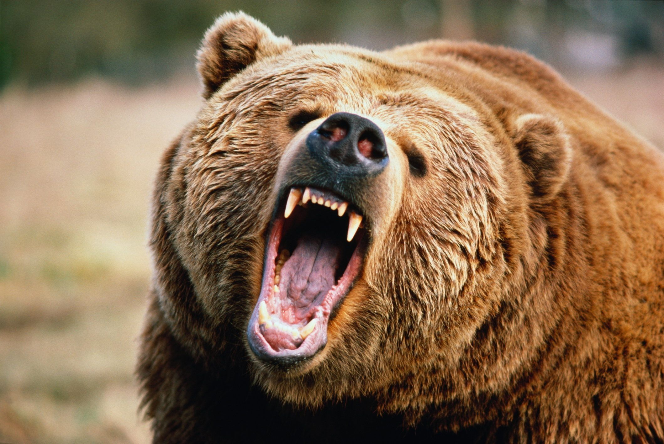 Other common name: Grizzly bear. Sometimes classified as sub-species Ursus arctos horribilis. Native to Northwest America, Alaska, Canada and Russia, isolated populations in Europe. Habitat: mixed woodland and open areas. Captive.