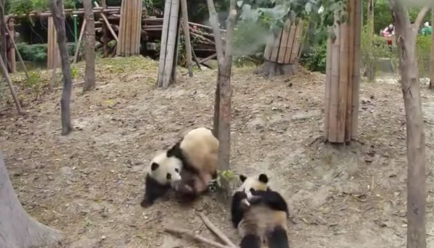 The clumsy panda startles other bears after it falls from a