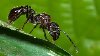 Bullet Ant (Paraponera clavata) hunting prey wrapped in leaf, Manu, Peru