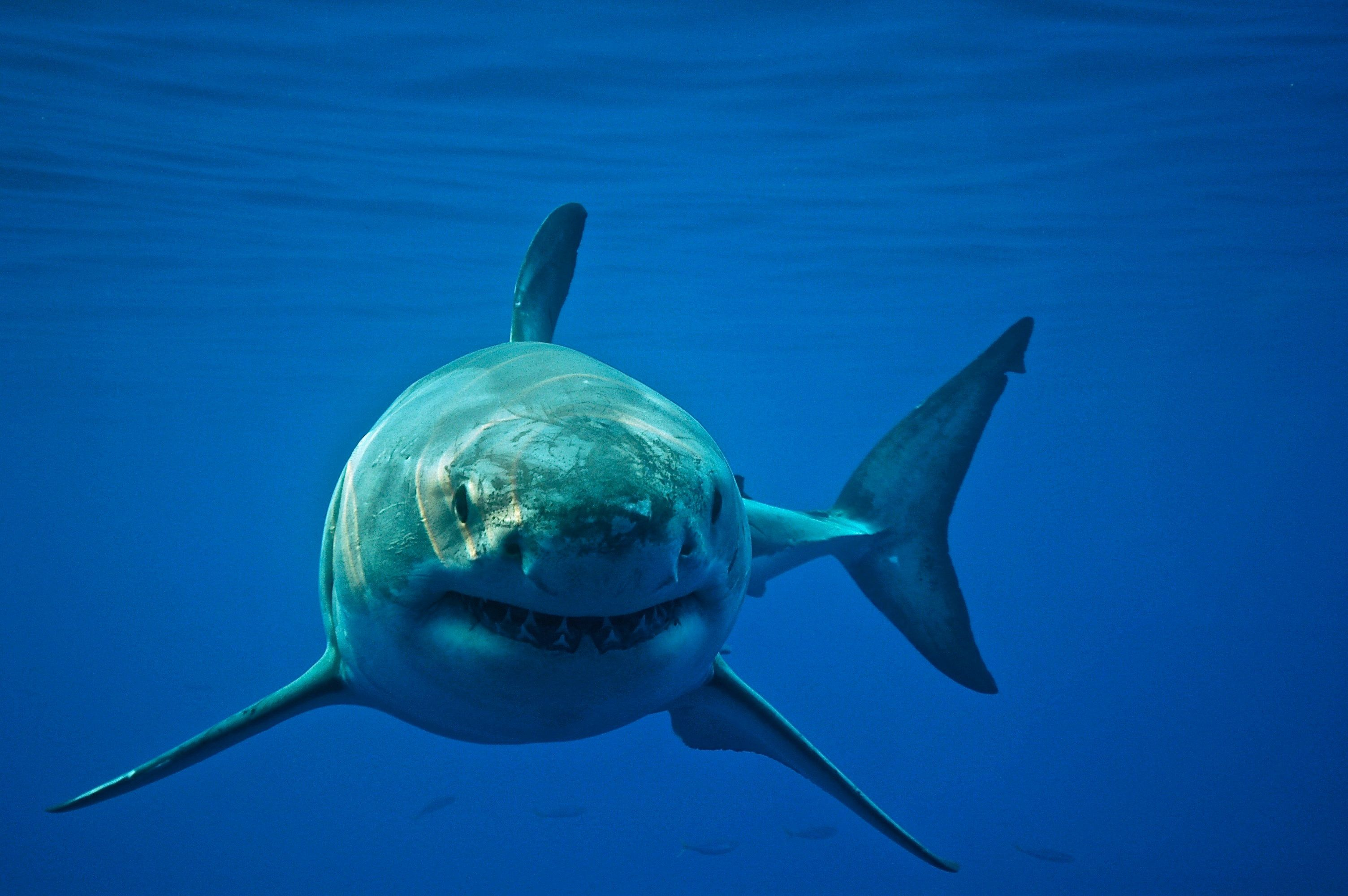 New Species Of Mega Shark Unearthed In Coastal