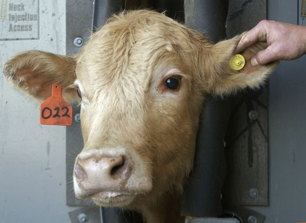 A cow wears a radio frequency identification tag to track mad cow's