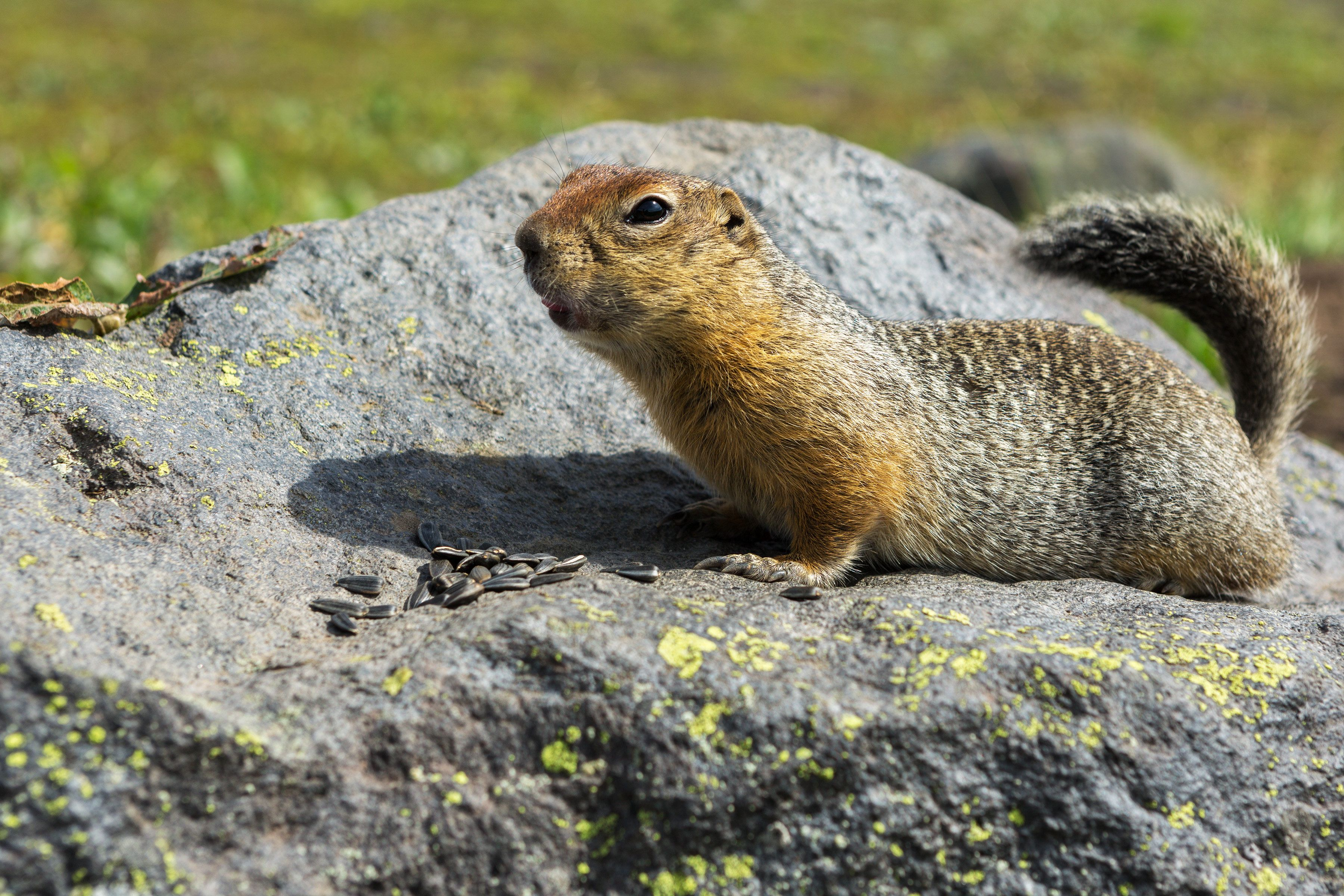 Arctic ground squirrel eating seeds on the rock. Kamchatka.