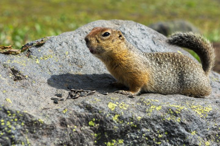 An arctic ground squirrelchilling with some seeds on a rock.