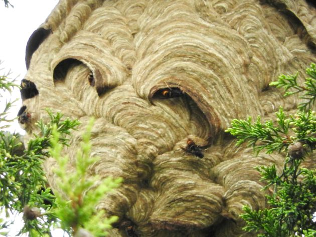 The huge Asian hornets' nest was found in Tetbury,
