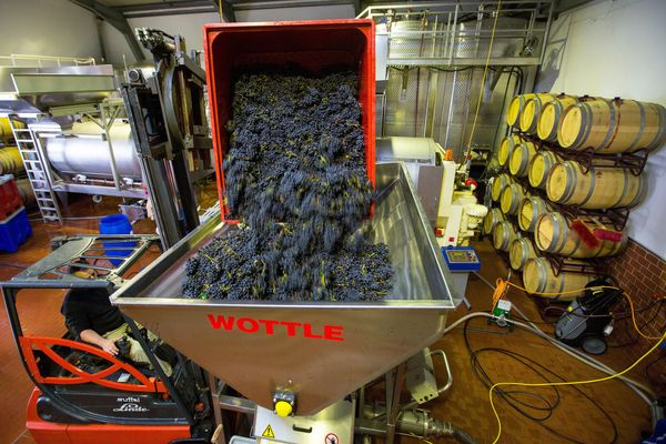 A forklift truck empties a crate of grapes into a crushing machine at the Weingut Friedrich Becker Estate.
