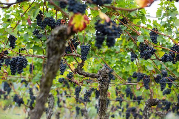 Bunches of pinot noir grapes hang from the vines before the harvest.
