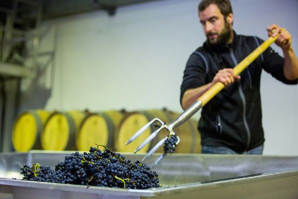 A vintner uses a pitchfork to load pinot noir grapes into a crushing machine.