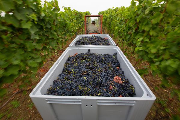 A tractor transports crates of grapes during the pinot noir harvest.