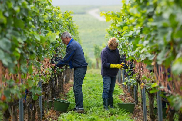 Grape pickers work in the vineyard during the pinot noir harvest.