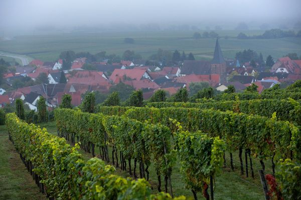 Pinot noir grape vines grow on the Weingut Friedrich Becker Estate as fog shrouds the landscape beyond in Schweigen