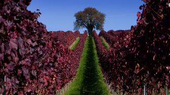 Leaves are coloured red in a vineyard during a sunny autumn day near Ueberlingen at lake Constance October 26, 2006.   REUTERS/Miro Kuzmanovic (GERMANY)    Also see image: GF2DVNNOYHAA