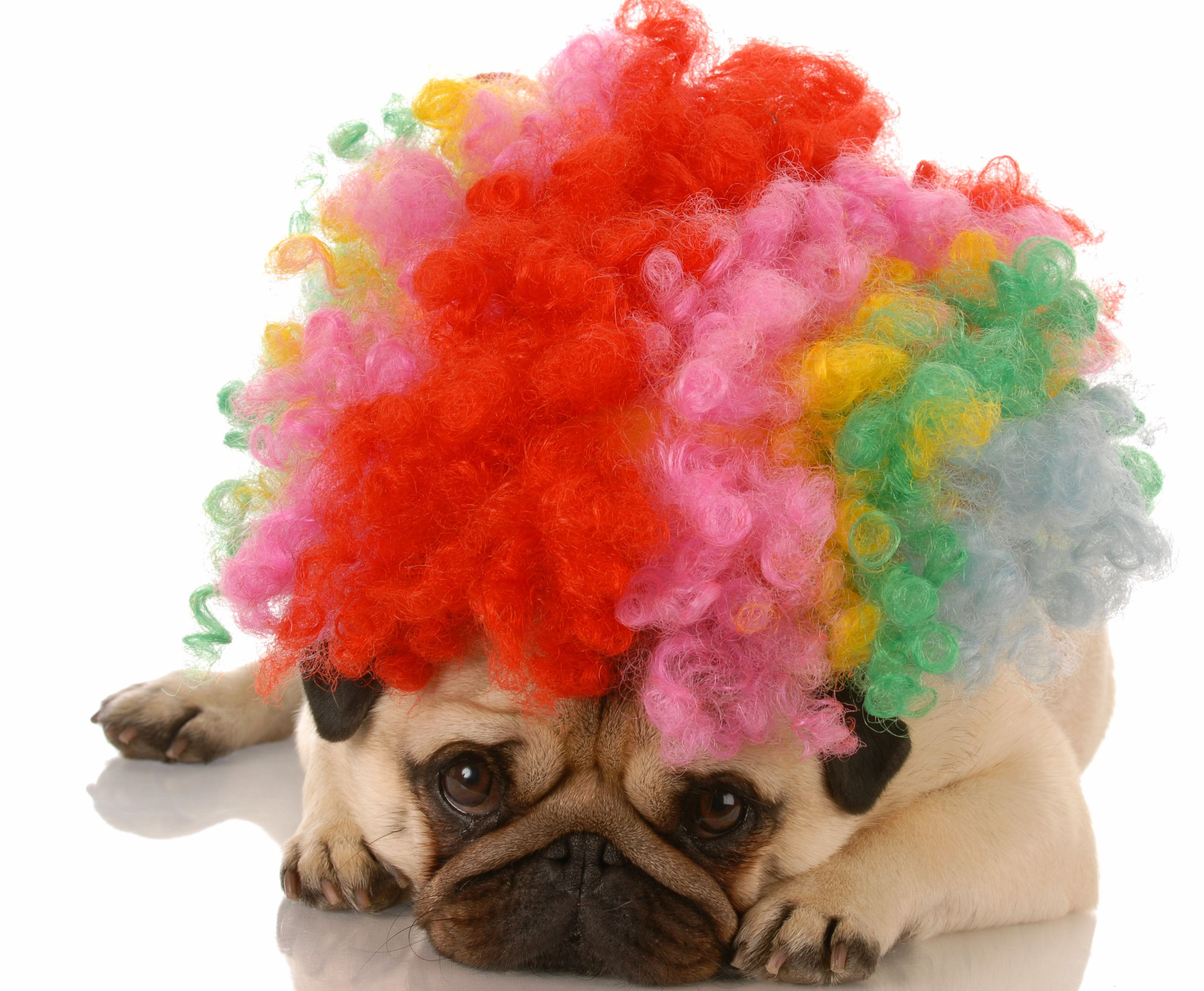 This pug doesn't get why people are so afraid of clowns these days.