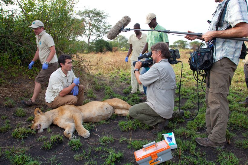 Lions Crew And Sedated Lion