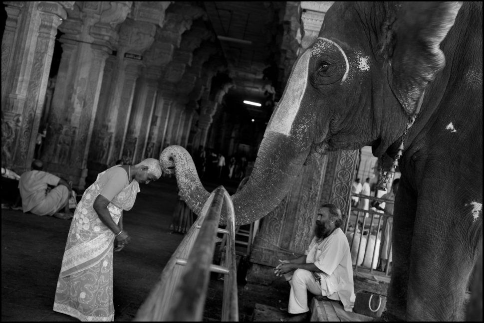 INDIA. 4. Tamil Nadu State. Tiruchirapalli (Trichy). Sri RANGANATHA SWAMY Hindu temple. The temple elephant blesses a pilgrim with his trunk after receiving a cash donation. The plgrim has offered her hair to a resident deity and her shaved head is covered by tumeric paste for protection.