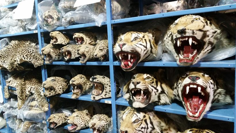 The National Wildlife Repository in Denver, Colorado houses thousands of seized wildlife products brought into the country il