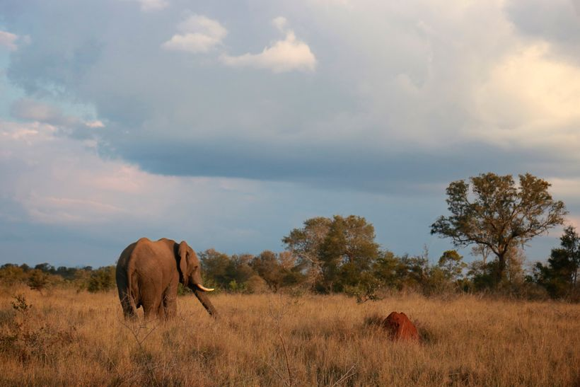 An elephant grazes in the greater Makalali conservancy, which was a cattle farm just 30  years ago and is now comprised of 8