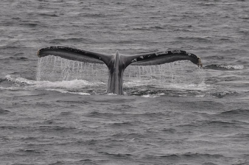 Humpback whale's tail while lunge diving in Chatham Strait