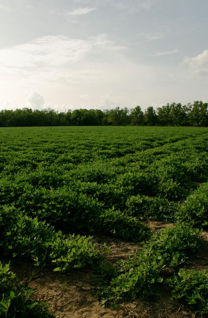A peanut crop growing in the fields of Loxley, Alabama.