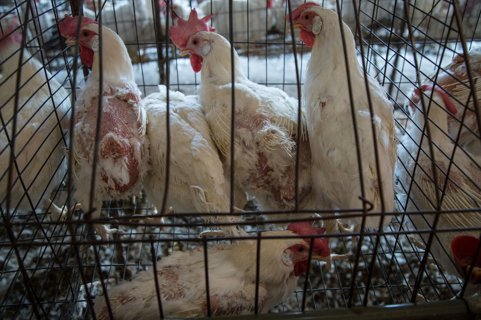 Hens at a factory farm in Mexico are forced to molt to improve egg production.