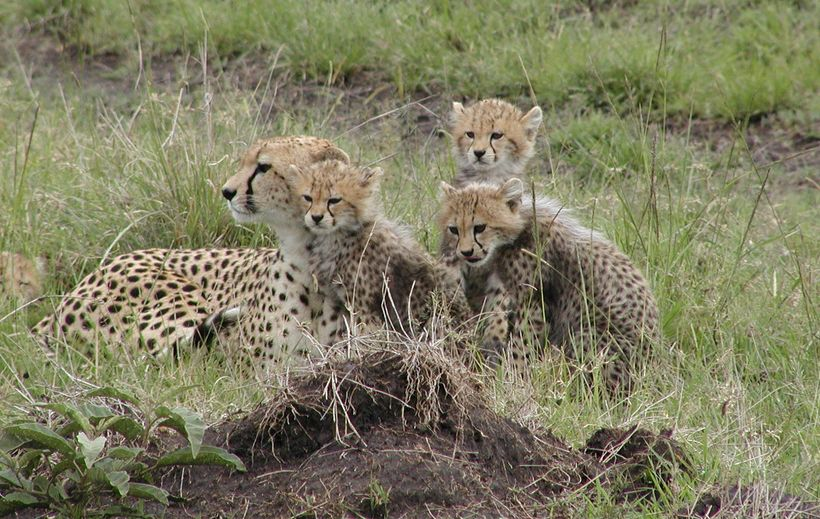 Wild cheetah with cubs in Kenya