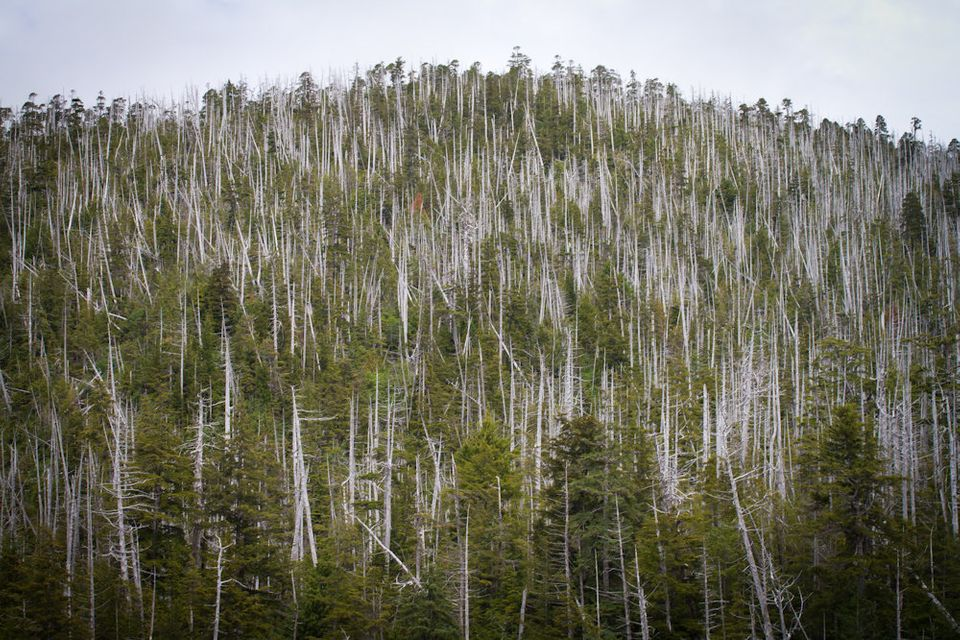 Dead yellow cedar trees on Chichagof Island in the Tongass National
