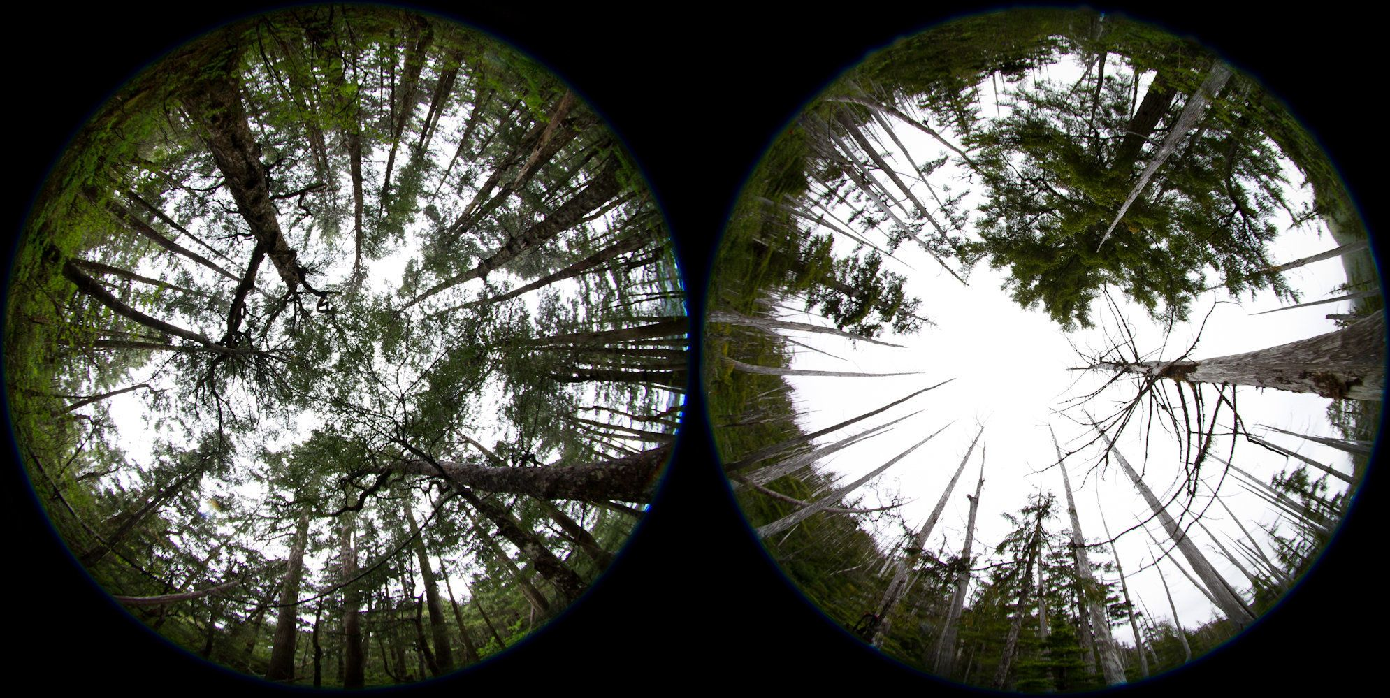 Yellow cedar trees are shown in abundance in Glacier Bay National Park, left. The image on the right, south of the park in&nb