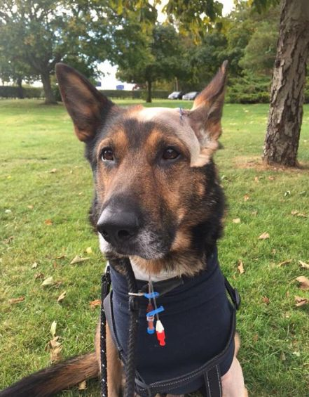 Police dog Finn is recovering after being stabbed in the head and chest in