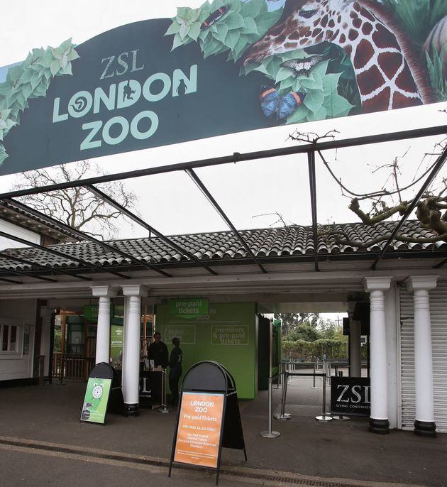 London Zoo Gorilla Recaptured After Escaping