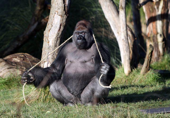 Kumbuka, a male western lowland gorilla, at London Zoo