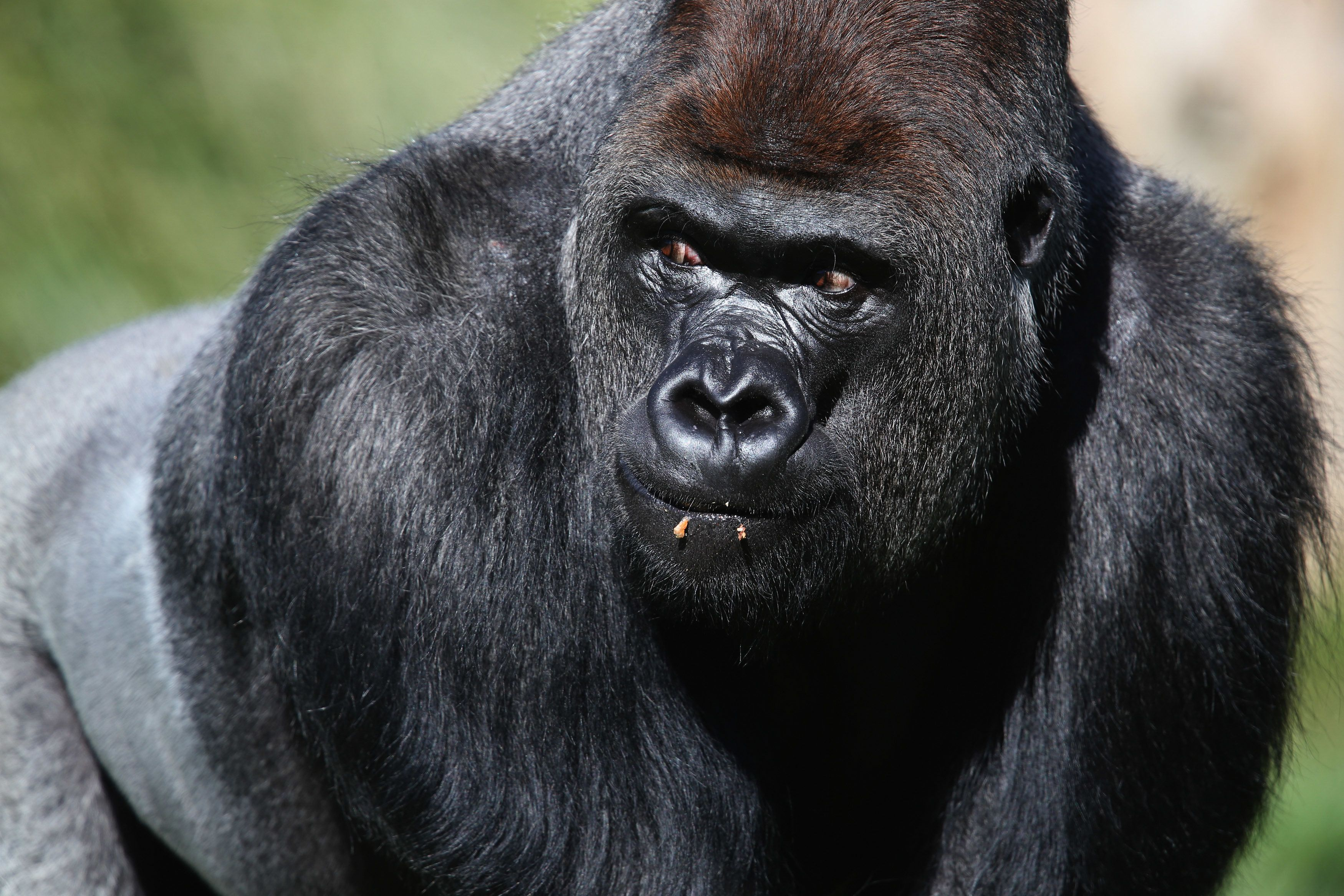 The £5m For London Zoo Gorilla's Enclosure Could Have Been 'Far Better Used' Claims Wildlife