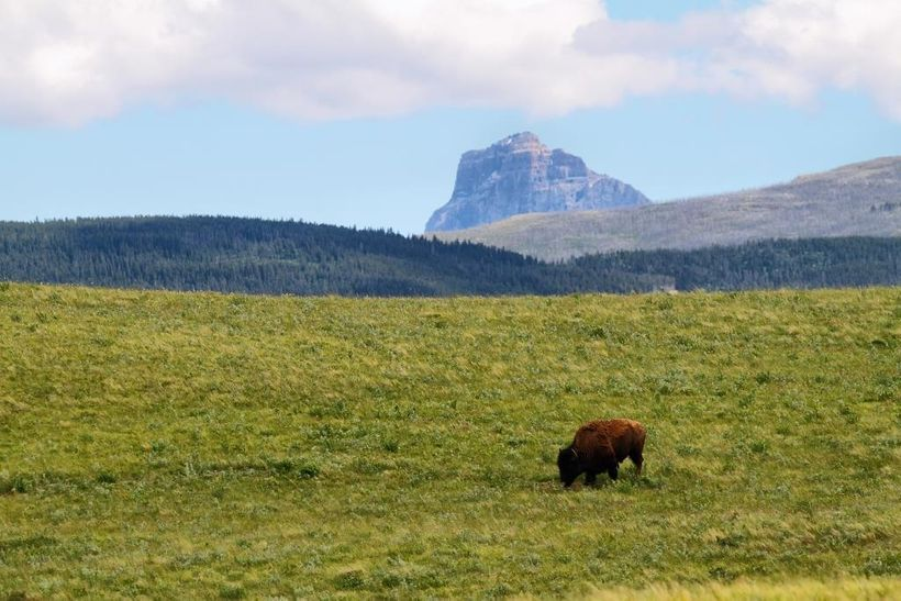 Bison grazing at the foot of Chief Mountain