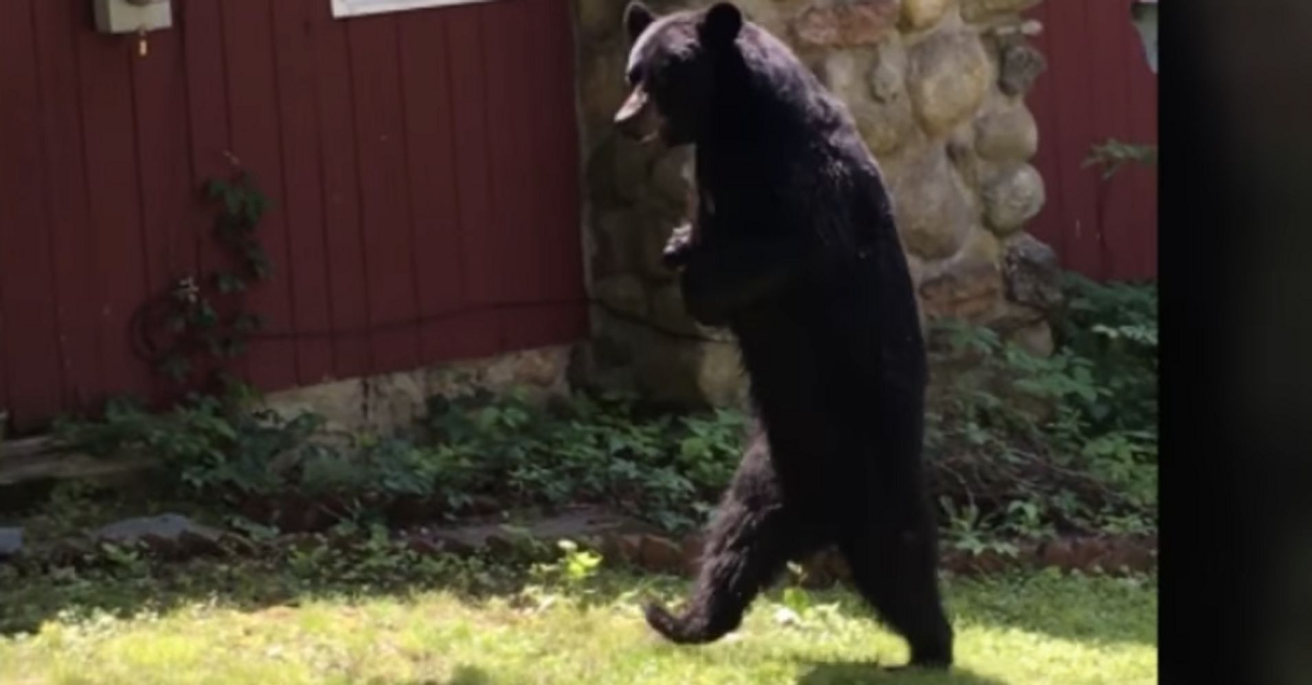 12761dbce68 Beloved Bipedal Bear Named Pedals Believed Killed By Hunter | HuffPost