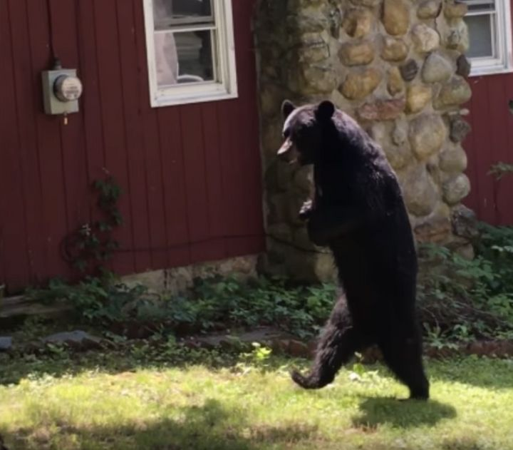 Pedals the bear was seen strolling around a New Jersey neighborhood back in June.