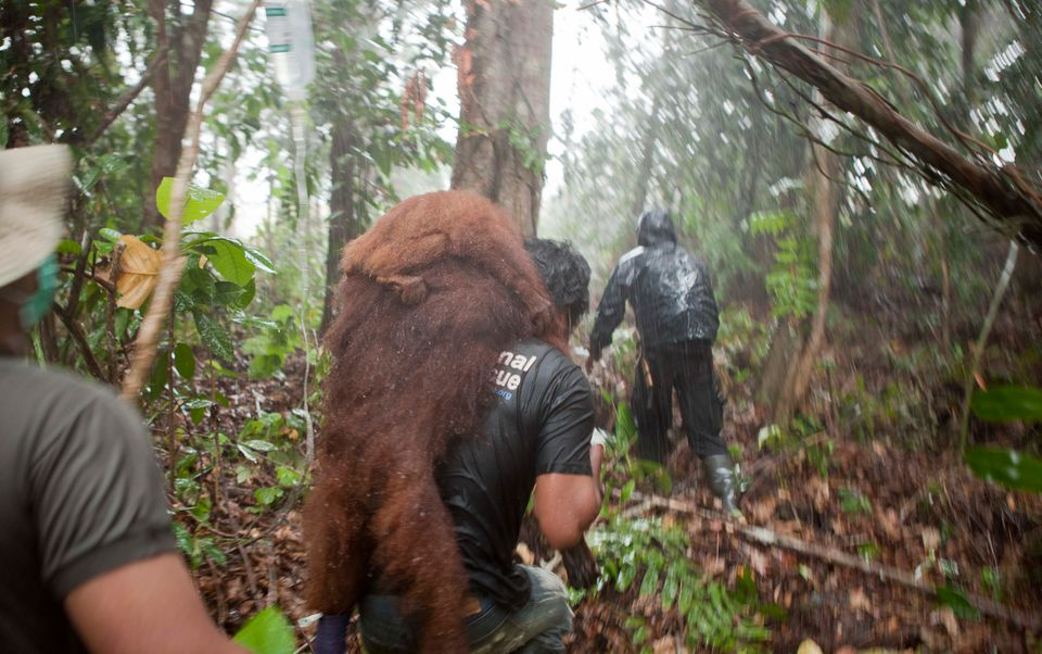 In this April 2013 photo, a female orangutan and her baby are pictured on the back of a rescue worker...